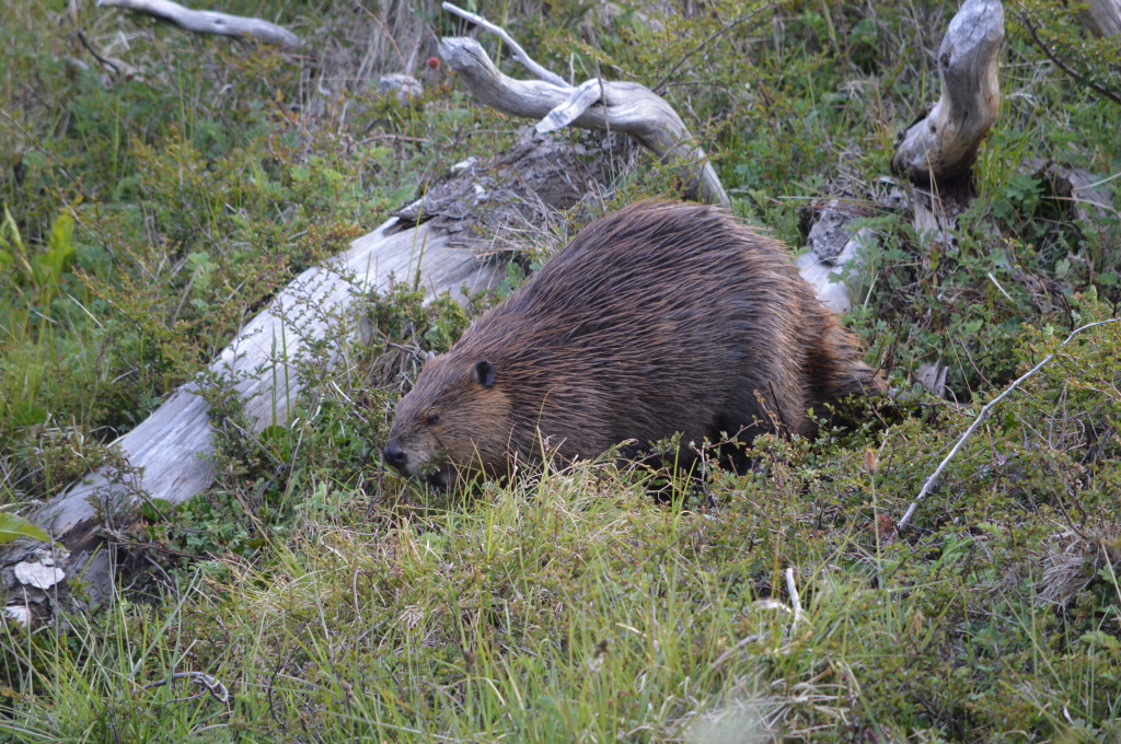 Looking for beavers, Patagonia